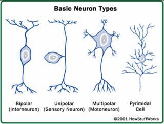 Bentuk-bentuk dasar neuron